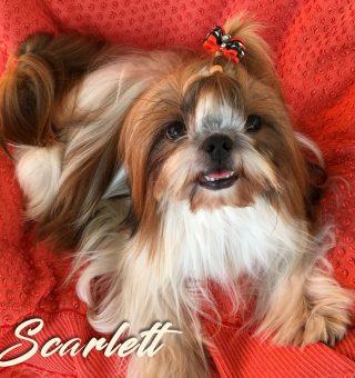shih-tzu-scarlett